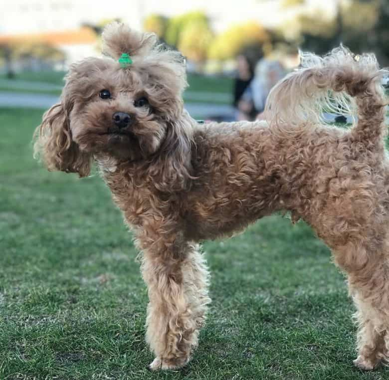 A brown Poodle wearing a ponytail in a dog park