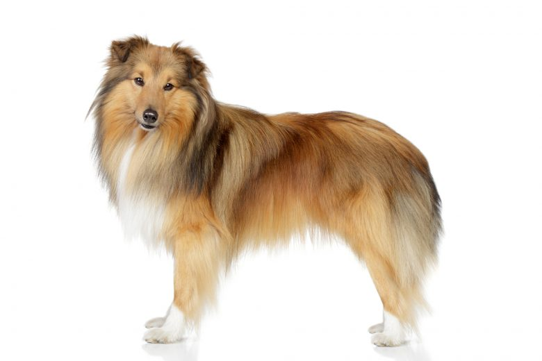 A portrait of a Shetland Sheepdog standing
