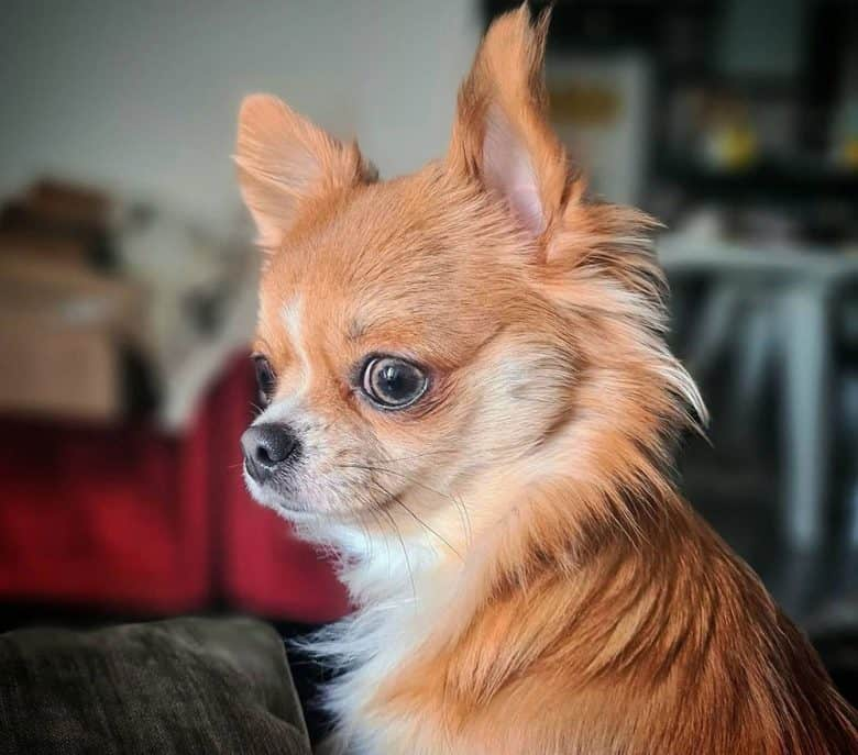 Portrait of a 1-year old Chihuahua dog