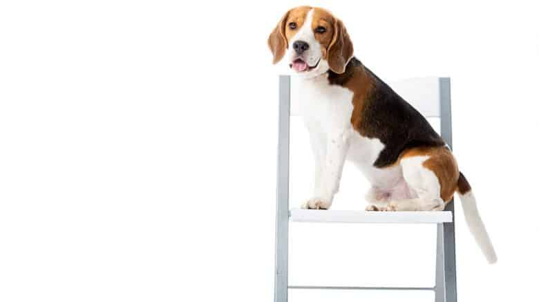 Portrait of Beagle dog sitting on the chair