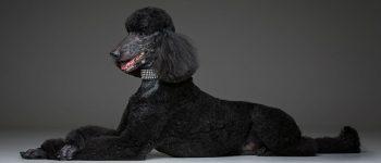 Portrait of lying BlackPoodle dog