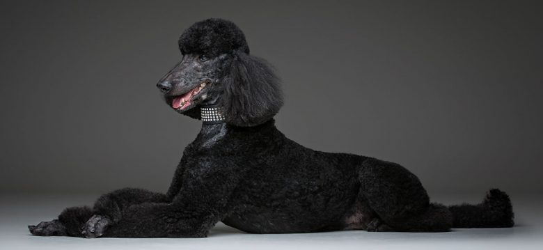 Portrait of lying Black Poodle dog
