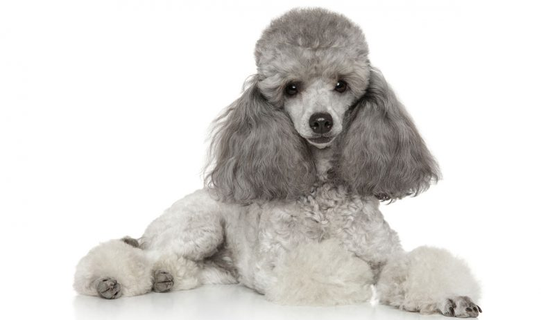 Portrait of lying Gray Poodle dog