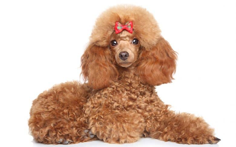 Portrait of lying Red Poodle dog