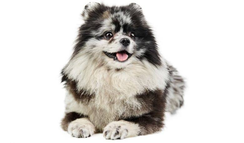 Portrait of merle Pomeranian dog