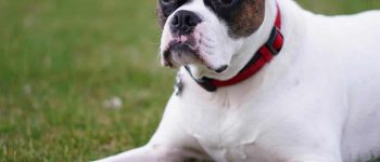 Portrait of Miniature Boxer dog lying on the grass