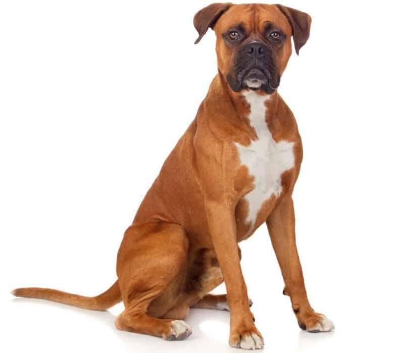 Purebred Boxer dog portrait