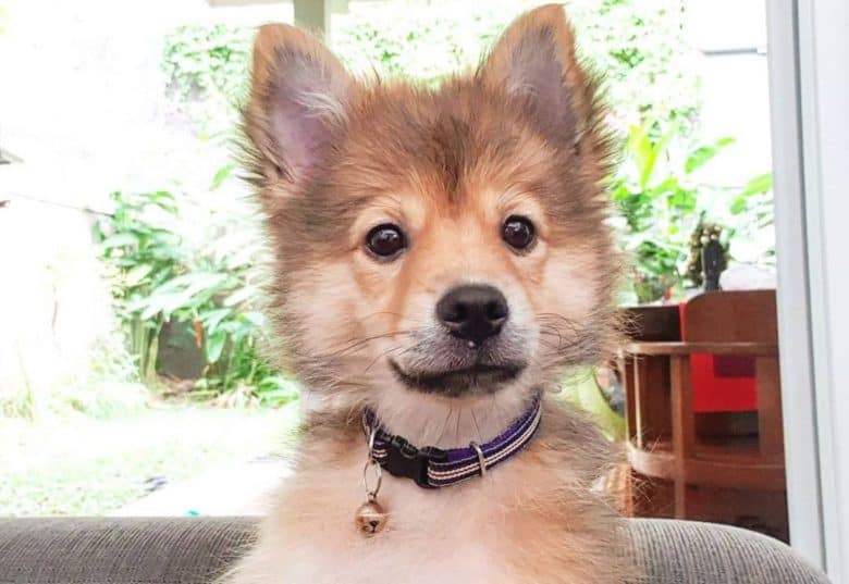 Siberian Husky and Shih Tzu mix dog