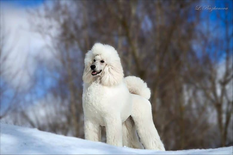 A striking portrait of a white Standard Poodle standing on snow