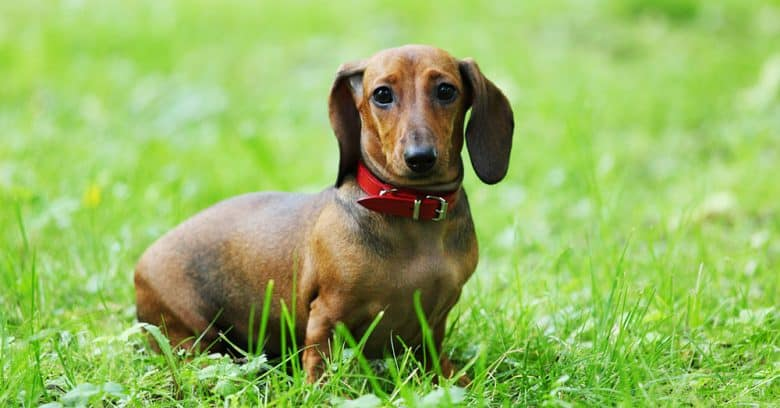 Portrait of young Dachshund dog on a green grass