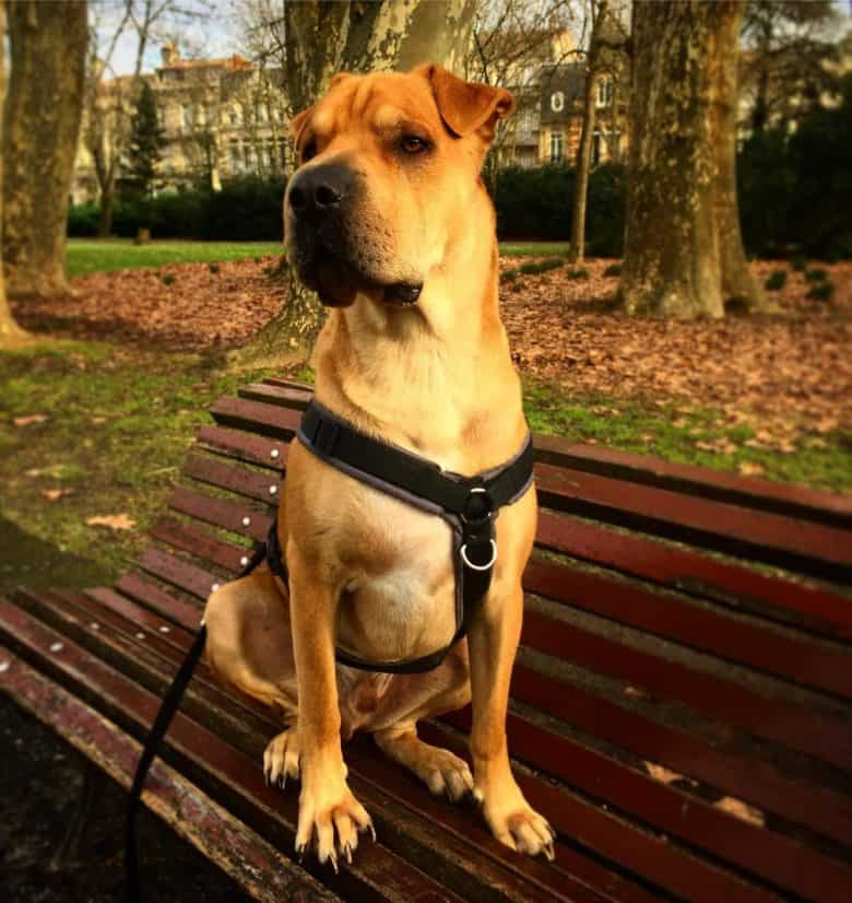 A very proud Chinese Shar Pei Labrador mix sitting on a bench