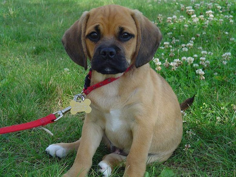 Adorable Pug and Beagle mix puppy