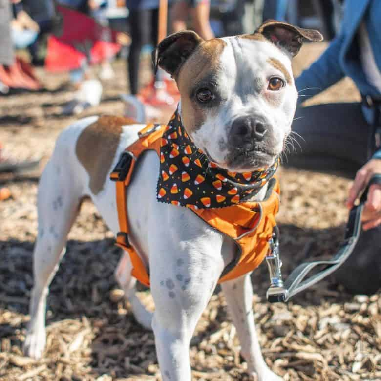 Pug and Pit Bull mix dog wearing orange outfit