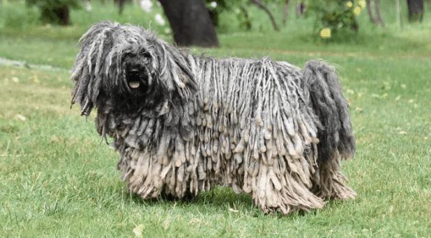 A Puli dog posing for a portrait