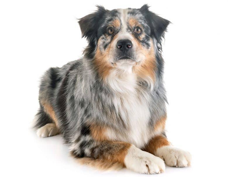 Purebred Blue Merle Australian Shepherd dog