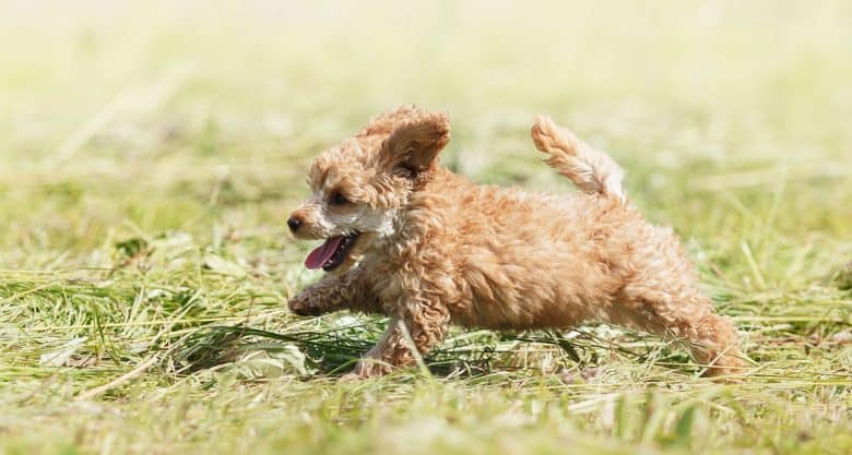Red Poodle puppy playing on the field