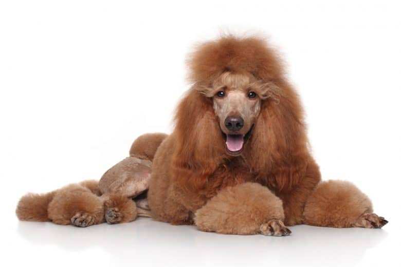 A red Standard Poodle portrait laying down