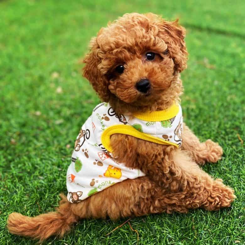 A red Toy Poodle puppy wearing a vest while sitting on grass