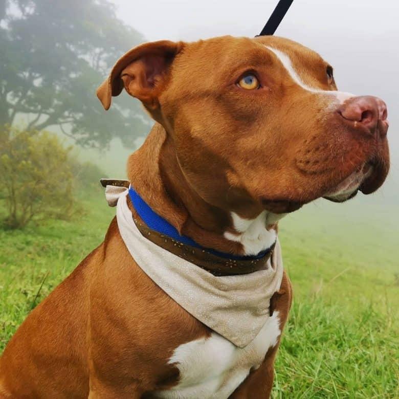 Rednose Pitbull dog portrait