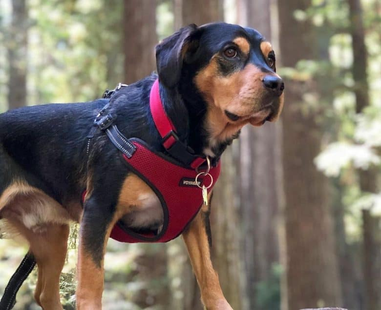 Portrait of Rottweiler Beagle mix dog in the forest