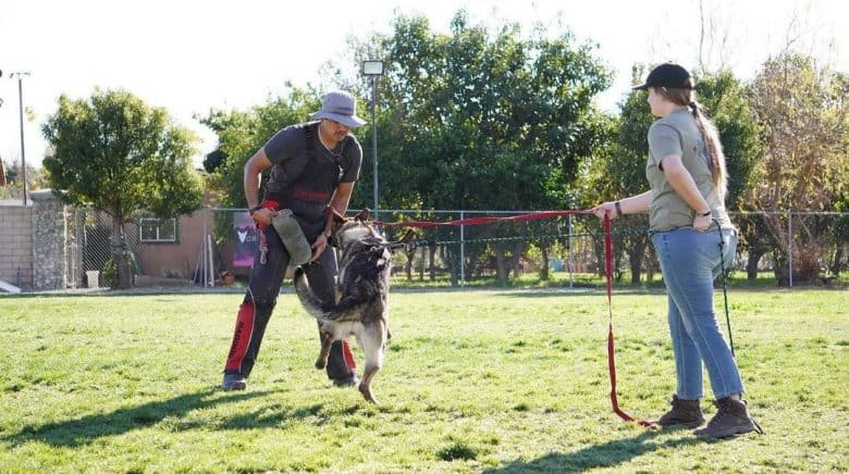 Rottweiler dog in a protection training session