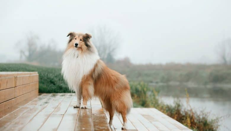 A Rough Collie standing on steps on a rainy day