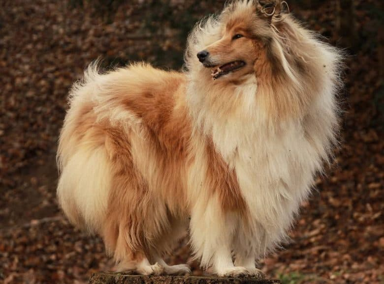 A Rough Collie standing on tree stomp while the wind is blowing its coat