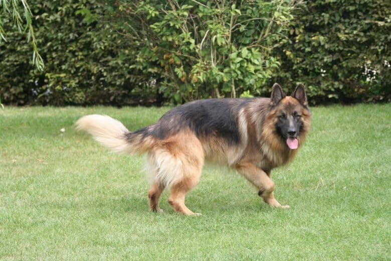 A running long-haired GSD