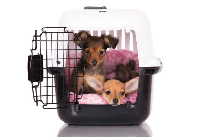 Russian Toy Terrier puppies inside the dog crate