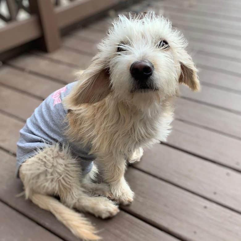 Sad Beagle Bichon Frise mix dog portrait