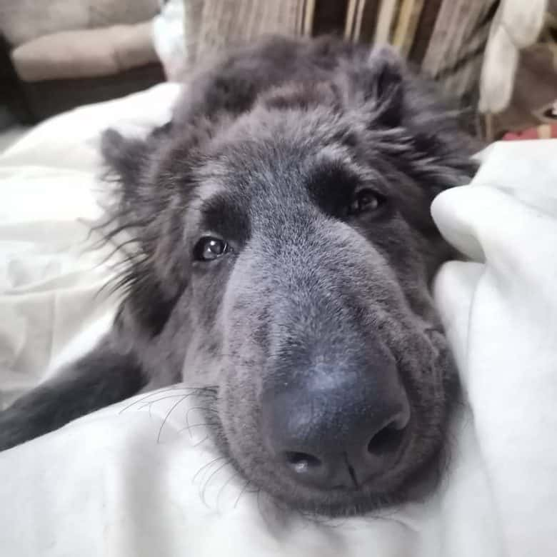 A sleepy and droopy eyed Blue GSD laying on bed looking sad