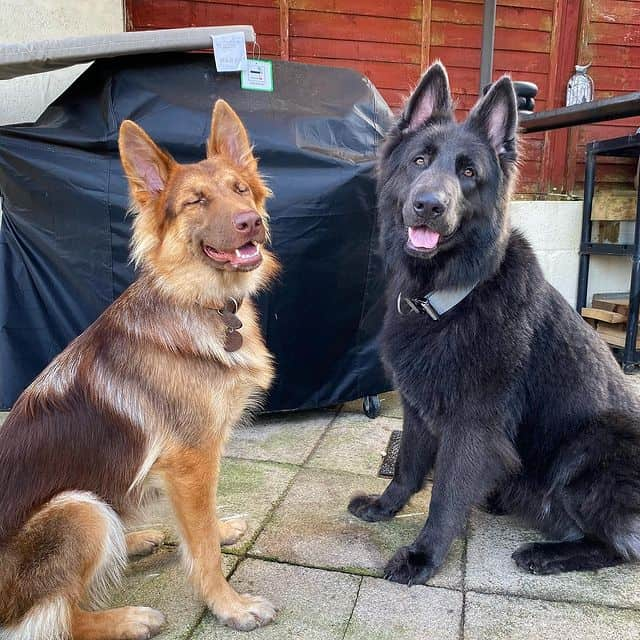 A saddled and tan GSD with a Blue GSD sitting