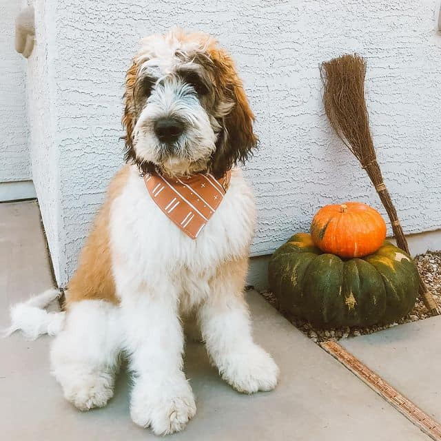 Saint Berdoodle wearing its scarf for autumn