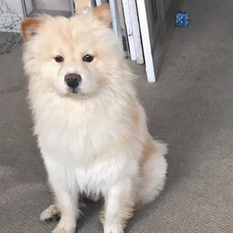Samoyed Chow mix dog portrait