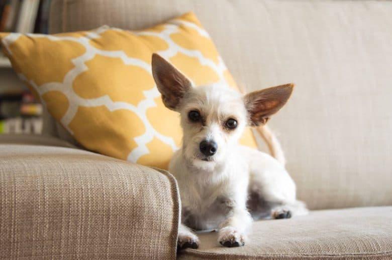 Schnauzer and Chihuahua mix dog