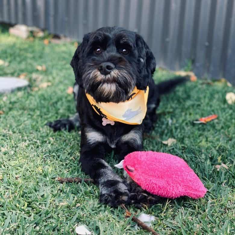 Schnauzer and Cocker Spaniel mix dog with her pink toy