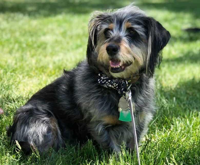 Schnauzer and Dachshund mix dog sitting on the grass