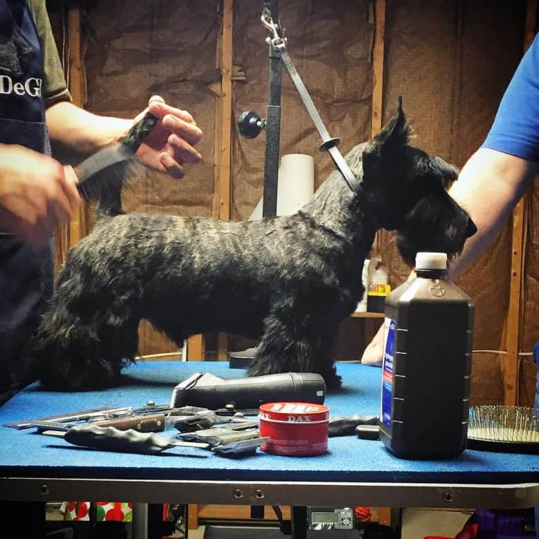 A Scottie dog being groomed