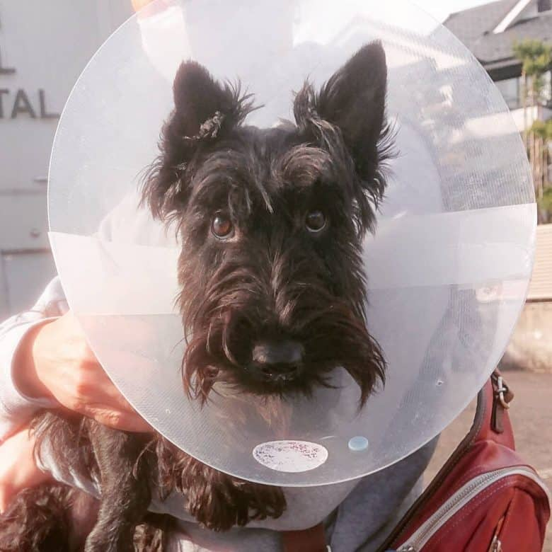 Scottish Terrier wearing a dog cone