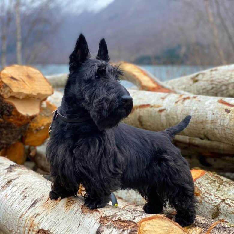 A Scottish Terrier on a tree log looking to left