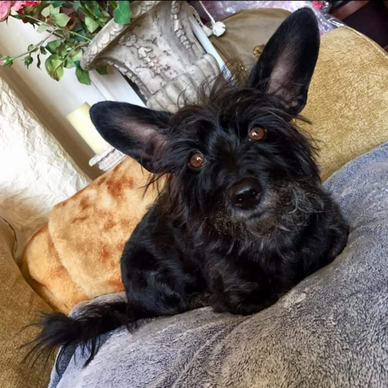 A Scottish Terrier Yorkie mix on a couch
