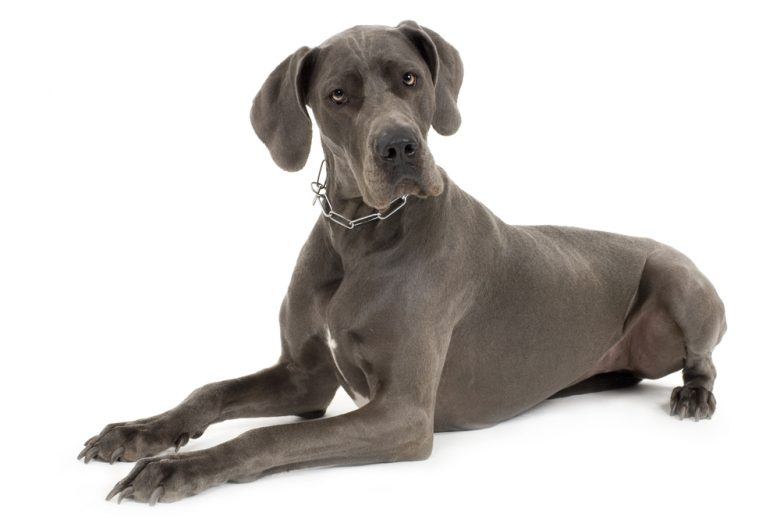 A serious gray Great Dane portrait