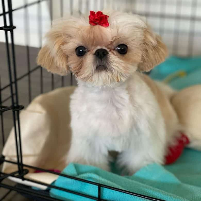 A serious looking Teacup Shih Tzu wearing a red ponytail