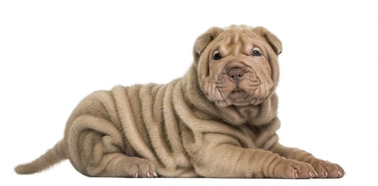 A portrait of Chinese Shar Pei puppy laying side view