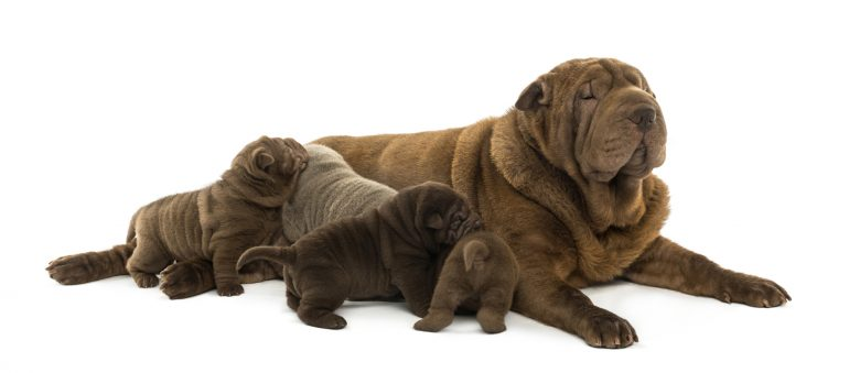 A Shar Pei mom with her puppies