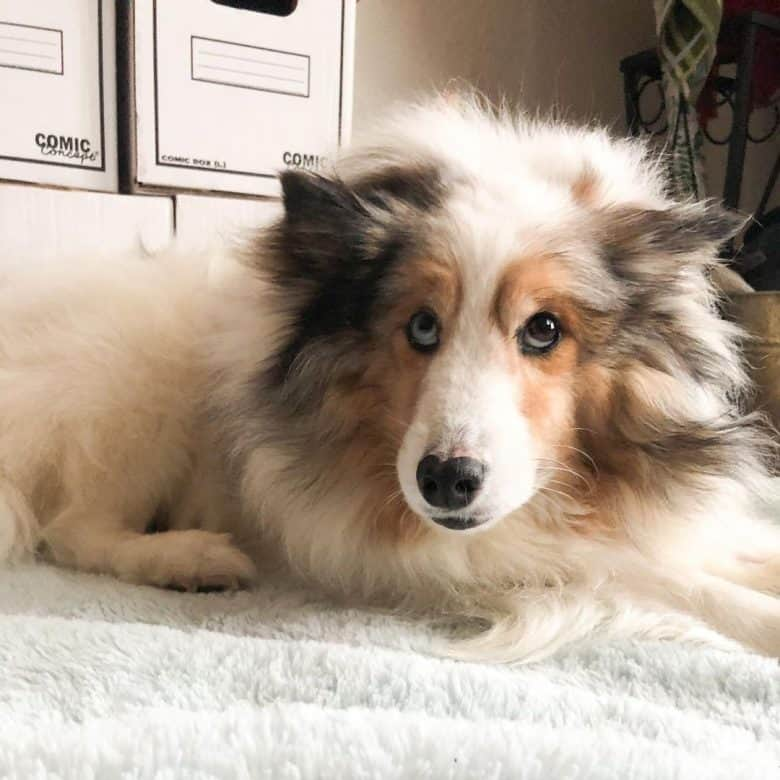 A Sheltie with eyes looking up