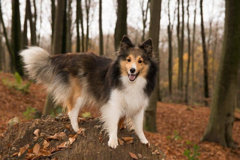A Sheltie dog standing on a tree stump