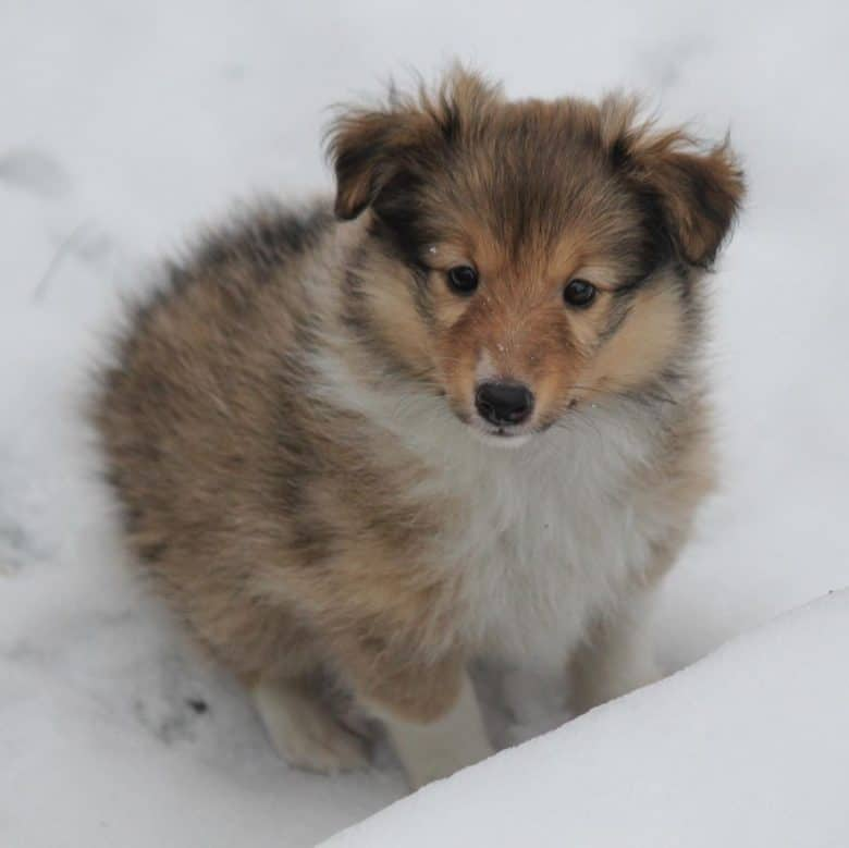 Sheltie puppy on snow looking so cute