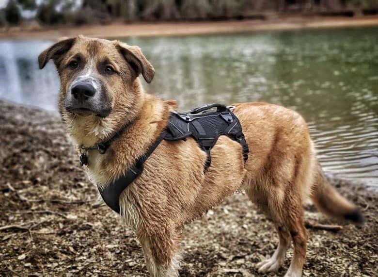 a wet Shep Py wearing a black harness while enjoying the lake walk