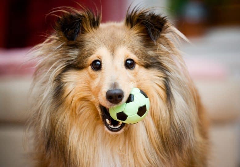 A playful Shetland Collie dog